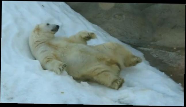 белому медведю подложили петарду видео