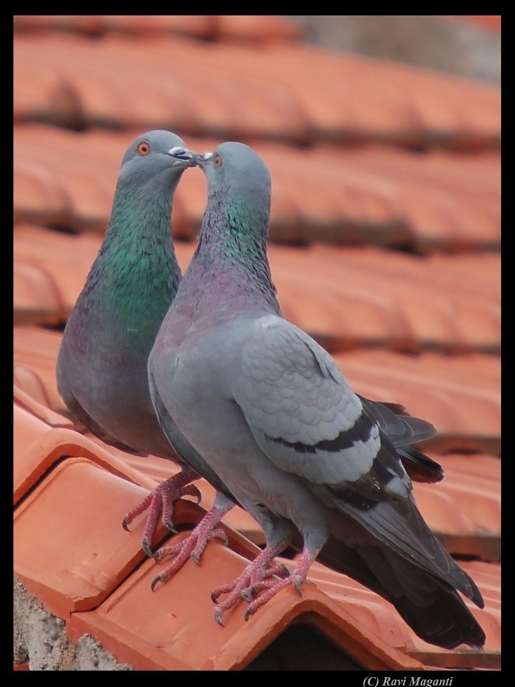 Картинки голубей на памятник